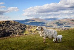 Sheep and Lamb close up at the Welsh Countryside in Brecon Beacons, Wales