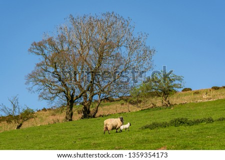 Sheep and lamb grazing on a lawn, seen between Church Stretton and Hope Bowdler, Shropshire, England, UK #1359354173