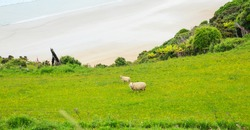 Sheep and lamb peacefully live in the natural New Zealand green grass meadow field near the sea beach