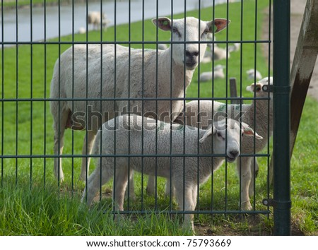 Sheep and lambs behind an iron fence, lamb bites on fence