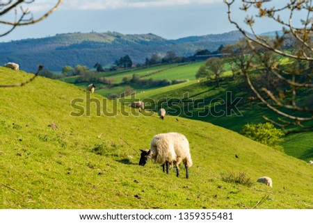 Sheep and lambs grazing on a lawn, seen between Church Stretton and Hope Bowdler, Shropshire, England, UK #1359355481