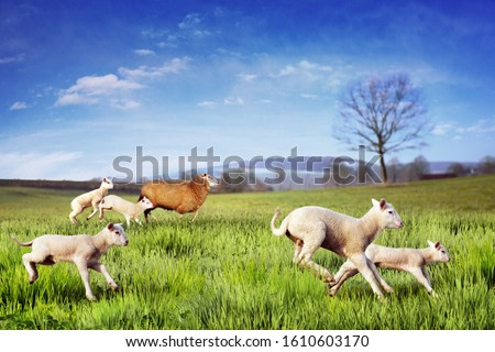 Sheep and Lambs Running Across the Meadow Сток-фото ©