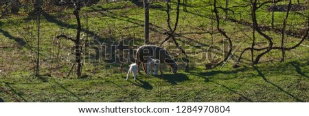 Sheep and offspring on farm field #1284970804