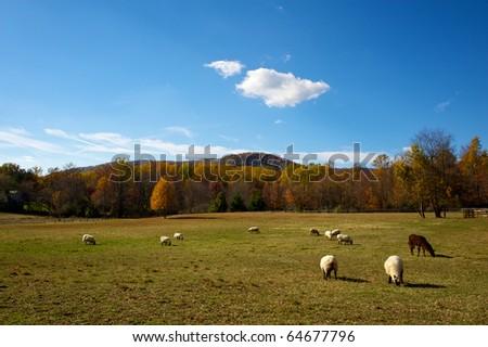 Sheep and one guard llama in Autumn meadow in Virginia