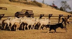 sheep and sheep dog