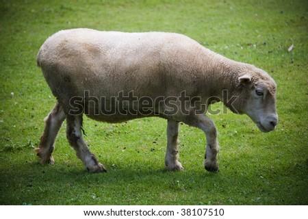 sheep animal #38107510