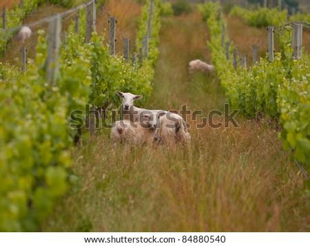 sheep are grazing in organic vineyard in marlborough wine region New Zealand