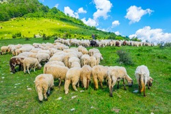 Sheep are grazing in the Central Balkan national park in Bulgaria