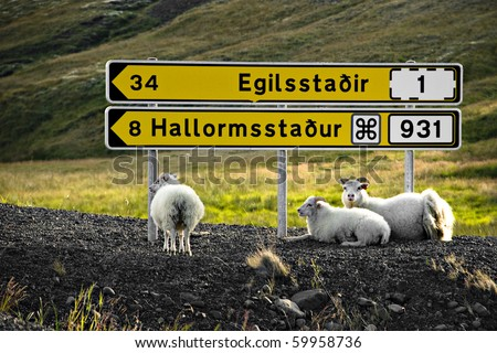 Sheep are resting under signpost in Iceland