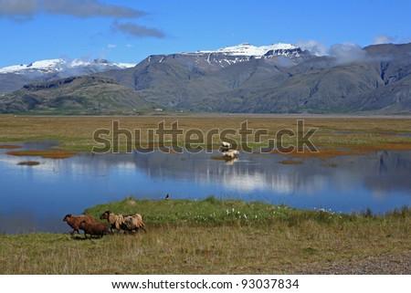 Sheep at a lake near Höfn, Iceland