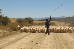 Sheep at Dysseldorp, South Africa, off the beaten track