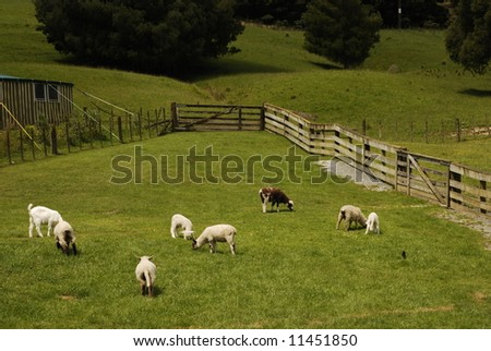 Sheep at Pasture grazing