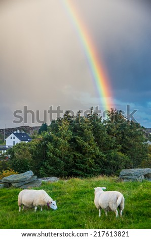Sheep at the pasture with rainbow sky at background in Norway