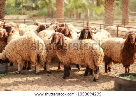 sheep Awassi brown sheep