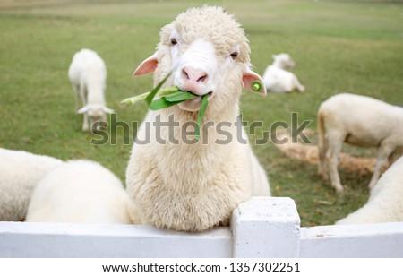 Sheep chewing on grass. Fresh toning. Lamb closeup. Funny cute sheep walk in the pasture. Lambs pose for the camera. Pattaya Sheep Farm. Adorable sheep from Thailand. Foto stock ©