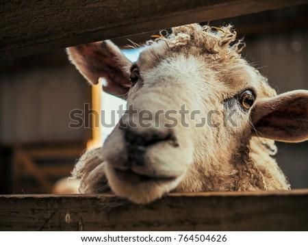 Sheep Close-up Eye - New Zealand #764504626