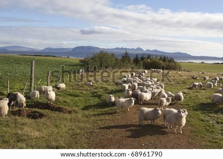 Sheep corral  Iceland