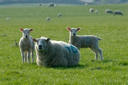 Sheep. Cross bred ewes and lambs on pature.