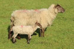 Sheep: Cross breed ewe and her lamb on farmland in rural Ireland during springtime