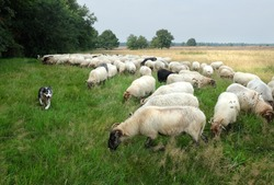 sheep dogs  in action infront of sheep herd