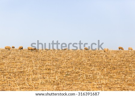 Sheep Dry Landscape\ Sheep animals eating harvested fields dry season landscape