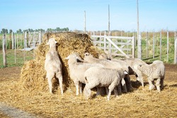 Sheep eating from a fardom in the coprral. Sheep cattle in the corrals of a field in Buenos Aires