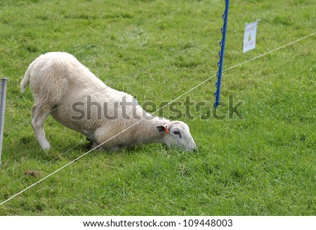sheep eating grass on the other side of electric fence