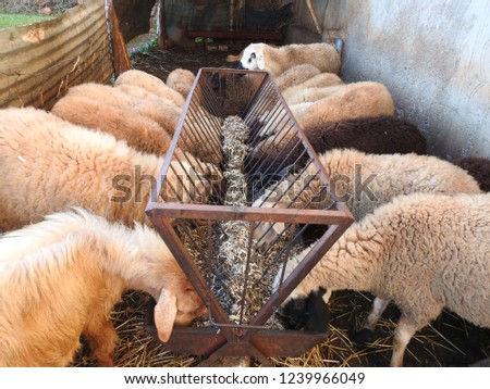 Sheep eating their winter feed from a feeder in the farm