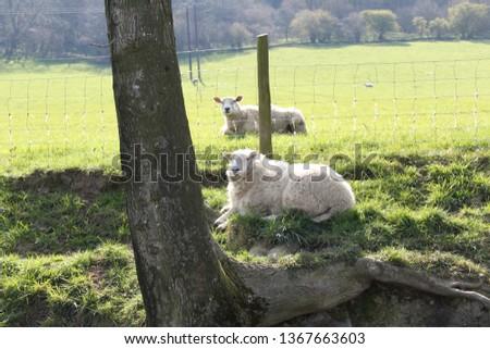 Sheep enjoying the spring sunshine, early morning walk up Caer Caradoc, tallest hill in Church Stretton, Shropshire. #1367663603