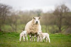 sheep ewe with lambs looking on grass