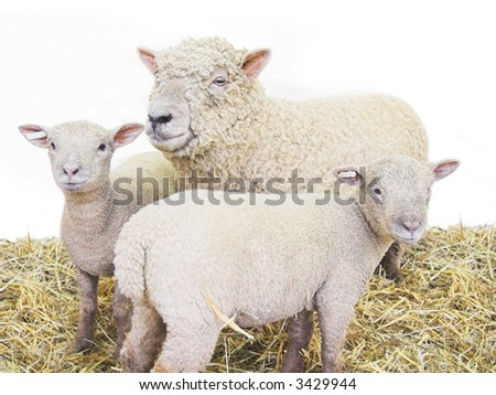 sheep family group