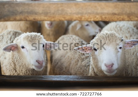 sheep farm #722727766