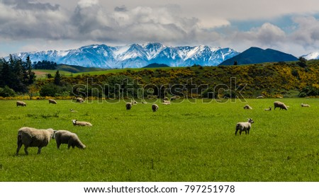 Sheep farming in New Zealand produces export meat #797251978