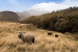 Sheep farming near Chimborazo volcano in Ecuador