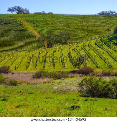 Sheep feeding in a vineyard in Napa, California, USA