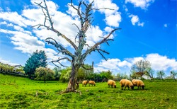 Sheep flock grazing on pasture. Sheeps grazing. Sheep flock  farm scene. Sheep flock grazing on farm
