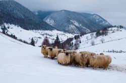 Sheep Flock in Mountain, in Winter Landscape