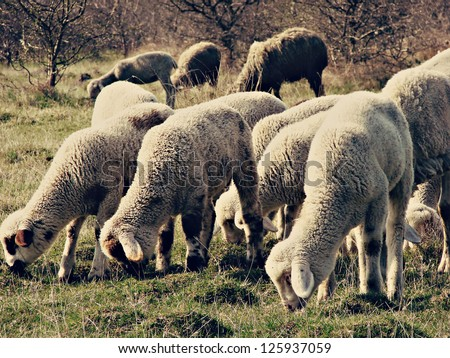 sheep flock, sheeps grazing