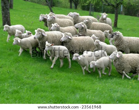 sheep flock with lamp running