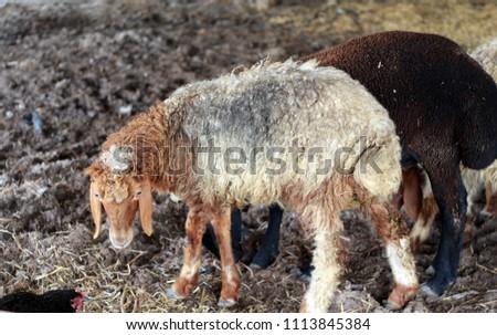 Sheep for the Feast of Sacrifice. (Kurban Bayrami)sacrifice holiday. Turkey. #1113845384