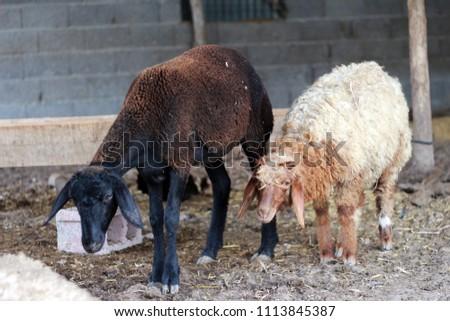 Sheep for the Feast of Sacrifice. (Kurban Bayrami)sacrifice holiday. Turkey. #1113845387