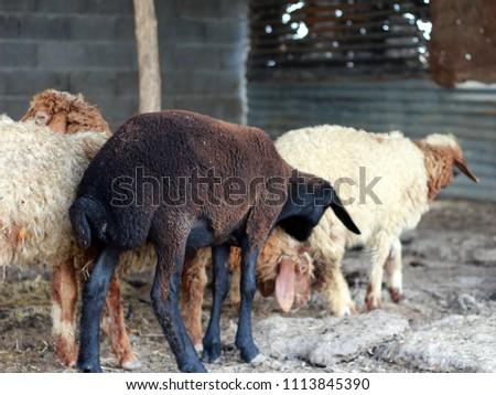 Sheep for the Feast of Sacrifice. (Kurban Bayrami)sacrifice holiday. Turkey. #1113845390