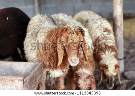 Sheep for the Feast of Sacrifice. (Kurban Bayrami)sacrifice holiday. Turkey. #1113845393