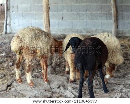 Sheep for the Feast of Sacrifice. (Kurban Bayrami)sacrifice holiday. Turkey. #1113845399