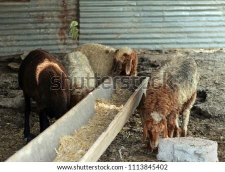 Sheep for the Feast of Sacrifice. (Kurban Bayrami)sacrifice holiday. Turkey. #1113845402