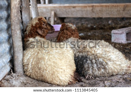 Sheep for the Feast of Sacrifice. (Kurban Bayrami)sacrifice holiday. Turkey. #1113845405