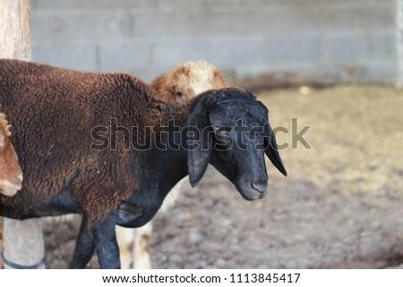 Sheep for the Feast of Sacrifice. (Kurban Bayrami)sacrifice holiday. Turkey. #1113845417