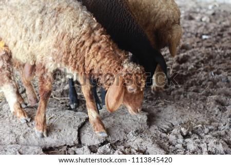 Sheep for the Feast of Sacrifice. (Kurban Bayrami)sacrifice holiday. Turkey. #1113845420
