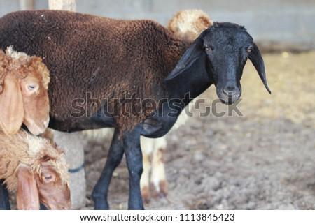Sheep for the Feast of Sacrifice. (Kurban Bayrami)sacrifice holiday. Turkey. #1113845423