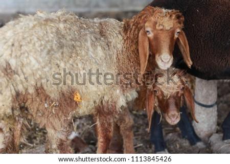 Sheep for the Feast of Sacrifice. (Kurban Bayrami)sacrifice holiday. Turkey. #1113845426